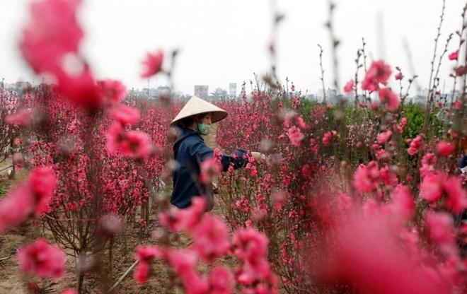 Một phụ nữ đang chăm sóc cành đào tại một khu vườn tại Hà Nội để chuẩn bị phục vụ người dân trong dịp Tết cổ truyền tại Việt Nam. Ảnh: Reuters
