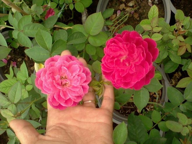 Hong leo trong chau lan at thi truong hoa tuoi 20/11 hinh anh