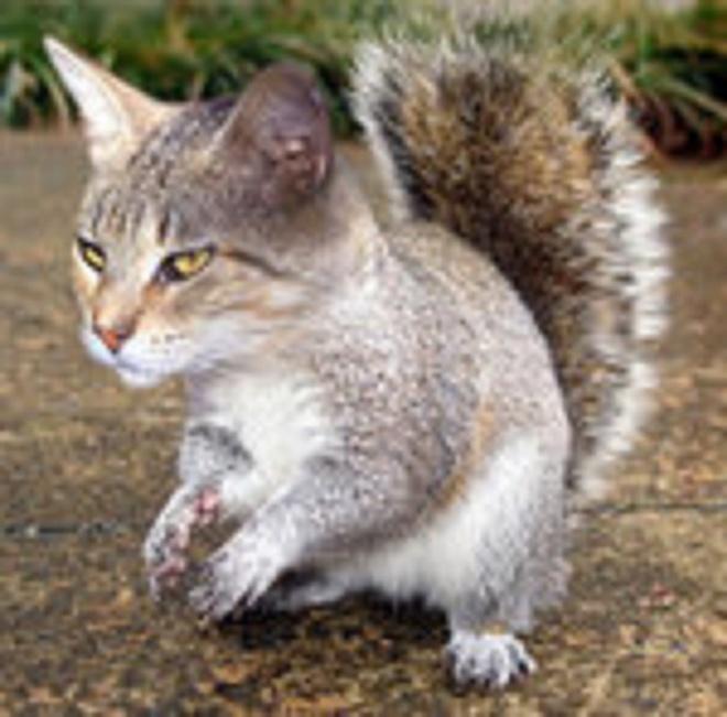 Nhung dong vat co than hinh ky quai vi bien di (ky 2) hinh anh 1 Squitten trông giống con lai giữa mèo và sóc. Ảnh: Naiveamoeba