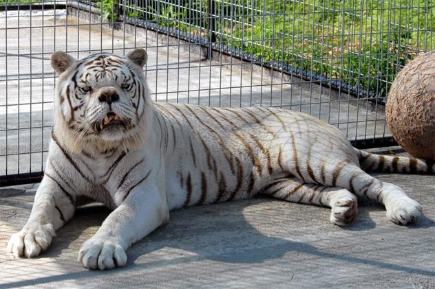 Nhung dong vat co than hinh ky quai vi bien di (ky 2) hinh anh 3 Kenny là một con hổ trắng thiểu năng. Ảnh: Advocacy.britannica