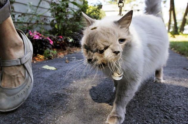 Nhung dong vat co than hinh ky quai vi bien di (ky 2) hinh anh 5 Frank và Louie là một chú mèo có một đầu, hai mặt và 3 mắt. Ảnh: cbsnews