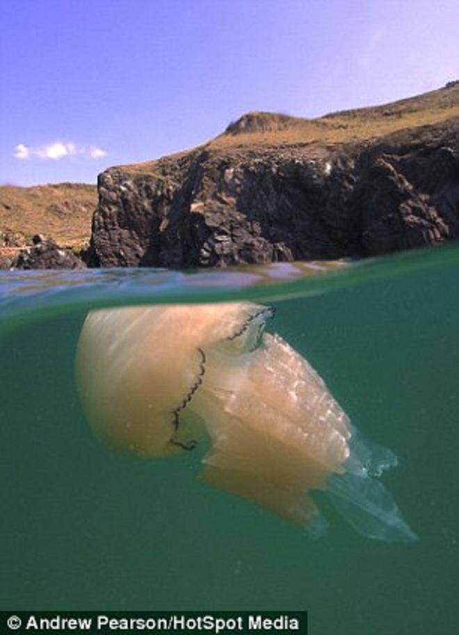 Hinh anh phan tach tren va duoi mat nuoc hinh anh 5 Một chú sứa xinh đẹp bơi gần mặt nước ở vịnh Kimmeridge, hạt Dorset.
