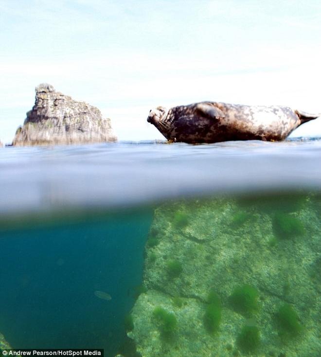 Hinh anh phan tach tren va duoi mat nuoc hinh anh 7 Chú hải cẩu nằm nghỉ trên một hòn đá chìm ở đảo Lundy, hạt Devon, Anh.