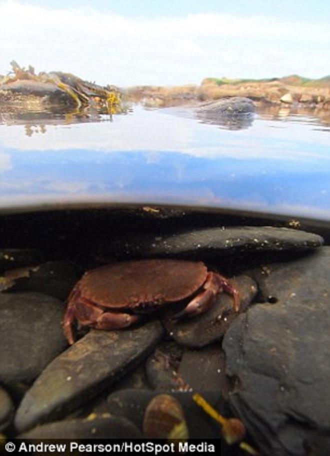 """Hinh anh phan tach tren va duoi mat nuoc hinh anh 9 Hình ảnh một chú cua náu mình dưới mặt nước. """"Người ta luôn không nhận ra các sinh vật biển và những điều thú vị nằm cách mặt nước chưa đến một mét ở các vùng biển thuộc Vương quốc Anh"""", Pearson nói."""