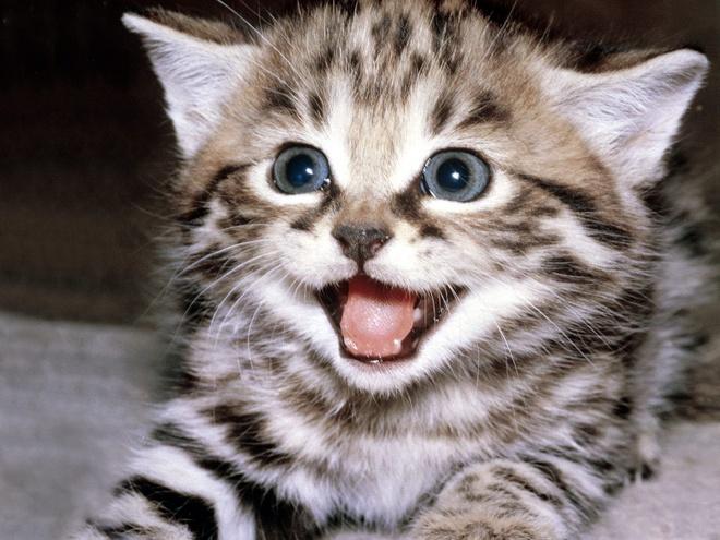 Chi hơn 3 tỷ đồng để mua một con mèo - Chuyện lạ