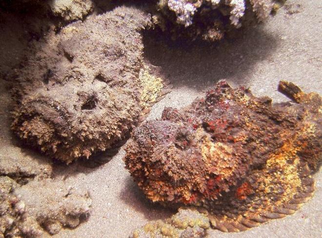 """10 loai dong vat co noc doc dang so nhat the gioi hinh anh 5 -Cá mặt quỷ (Synanceia), hay còn gọi là cá mang ếch, cá mao ếch, là một chi cá thuộc họ mao mặt quỷ. Chúng là một loài cá có bề ngoài to, xù xì và rất độc. Người ta gọi loài này là """"chúa tể nọc độc"""" dưới đáy đại dương. Cá mặt quỷ có 13 tia vây lưng chứa độc tố và độc có thể tồn tại nhiều ngày sau khi cá chết. Khi đâm vào thịt nạn nhân, độc tố sẽ tác động trực tiếp đến hệ cơ vận động, hệ thần kinh và hệ cơ trơn của tim ở người. Tuy nhiên, nếu được chế biến đúng cách, đây là món ăn khoái khẩu của nhiều người với vị giòn, ngọt, giúp tuần hoàn máu tốt, giảm nguy cơ mắc bệnh tim và đột quỵ"""