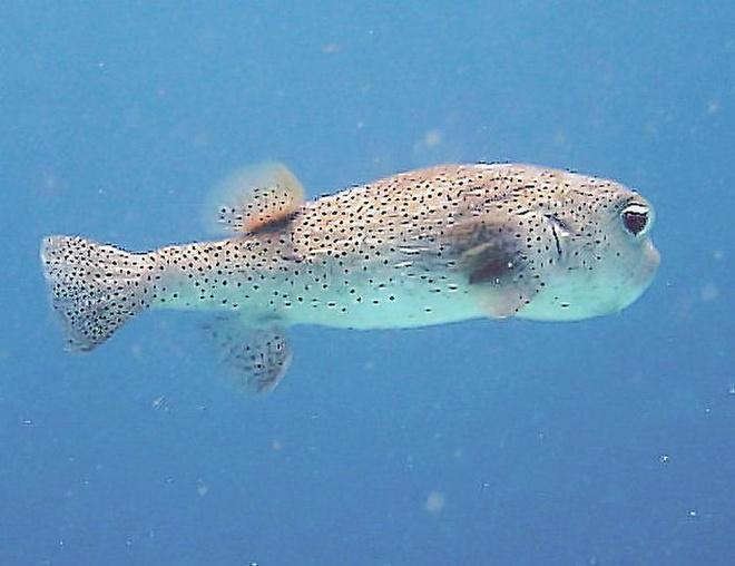 10 loai dong vat co noc doc dang so nhat the gioi hinh anh 2 Họ cá nóc (Tetraodontiformes, còn gọi là Plectognathi), là loài động vật có xương sống độc thứ hai trên thế giới, sau loài ếch độc phi tiêu vàng. Loài này sinh sống chủ yếu ở những vùng biển quan Nhật Bản, Trung Quốc, Philippine, và Mexico. Tuy các nội tạng của loài cá nóc đều chứa độc tố, nhưng chúng được xem là một đặc sản nếu có phương pháp chế biến. Người ta phải chi <abbr class=