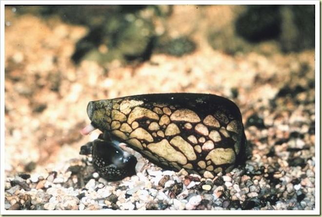 10 loai dong vat co noc doc dang so nhat the gioi hinh anh 8 Ốc sên Marbled Cone, hay Conus marmoreus là một loài động vật thân mềm có nộc độc khủng khiếp nhất hành tinh. Chúng phân bố ở các vùng biển Ấn Độ Dương và Thái Bình Dương. Một giọt nước dãi của loài này có thể giết chế ít nhất 200 người. Dãi của Marbled Cone có thể làm toàn thân người dính phải run lẩy bẩy, chân tay tê liệt, mắt mờ đi và ngừng thở chỉ sau vài giờ đồng hồ. Tuy vậy, chức năng của chất kịch độc này chỉ là để tự vệ và để bắt mồi chứ chúng không bao giờ chủ động tấn công con người.