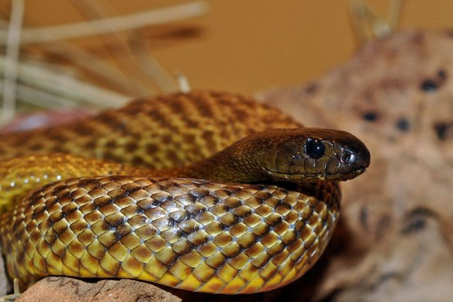 10 loai dong vat co noc doc dang so nhat the gioi hinh anh 3 Loài rắn này sống ở Úc. Chúng là loài rắn độc nhất thế giới. Loài rắn này thuộc họ Rắn hổ (Elapidae),chúng có màu nâu đậm hoặc xanh đậm, chiều dài từ 1,8m cho đến 2,5m.  Tuy nhiên, chưa có tài liệu nào báo cáo về vụ tử vong liên quan đến  loài rắn này