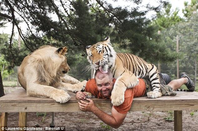 Nguoi dan ong song cung su tu, ho, bao hinh anh 3 Nhưng Carl không chỉ sống cùng linh miêu châu Phi, mà còn nuôi hai con sư tử