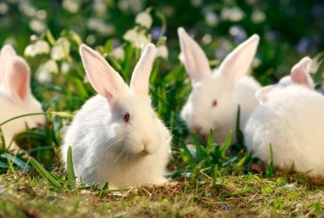 10 quan niem sai lam ve co the phu nu (ky 2) hinh anh 2 Người ta từng đồn rằng một người phụ nữ sinh ra thỏ vì cô ta thèm thịt thỏ và mơ thấy cô ăn chúng.