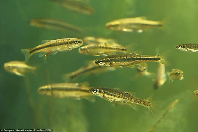 Ngam cong vien bien thanh ho nuoc khi tuyet tan hinh anh 9 Loài cá Minnow trong hồ Almsee bơi lội trong rừng cây cối.
