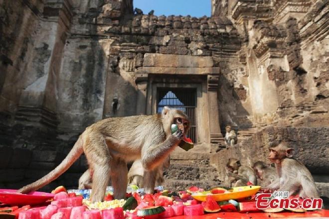 Dai tiec buffet cua khi o Thai Lan hinh anh 1 Lễ hội buffet dành cho khỉ ở Thái Lan diễn ra vào ngày 30/11/2014 tại tỉnh Lopburi, cách thủ đô Bangkok 150 km về phía đông bắc.