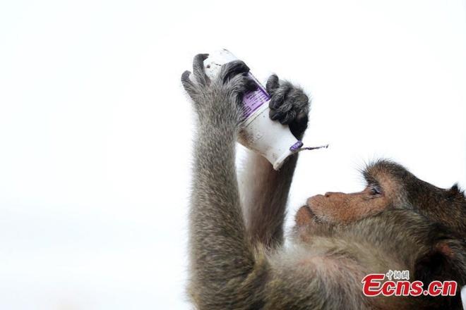 Dai tiec buffet cua khi o Thai Lan hinh anh 6 Lễ hội buffet thực sự là một bữa đại tiệc đối với khỉ, chúng có thể thưởng thức những đồ uống yêu thích.