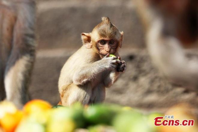 Dai tiec buffet cua khi o Thai Lan hinh anh 7 Tại lễ hội, hàng trăm con khỉ tự do chạy nhảy, những con khỉ nhỏ cũng trở nên mạnh dạn hơn.