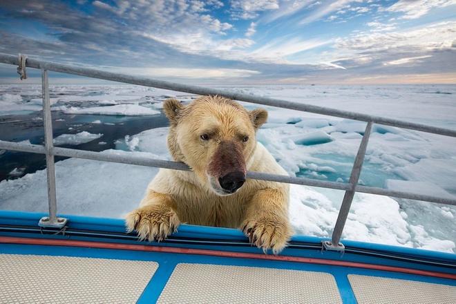 Loat anh ngoan muc nhat trong nam 2014 (ky 4) hinh anh 2 Một con gấu tò mò đặt chân trước lên một chiếc thuyền trên quần đảo Svalbard thuộc Na Uy. Ảnh: Barcroft