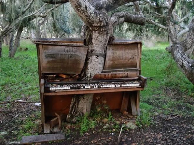Nhung thuc vat quai di bac nhat the gioi (ky 1) hinh anh 4 Cây xuyên qua đàn piano cũ trong trường Đại học California. Ảnh: