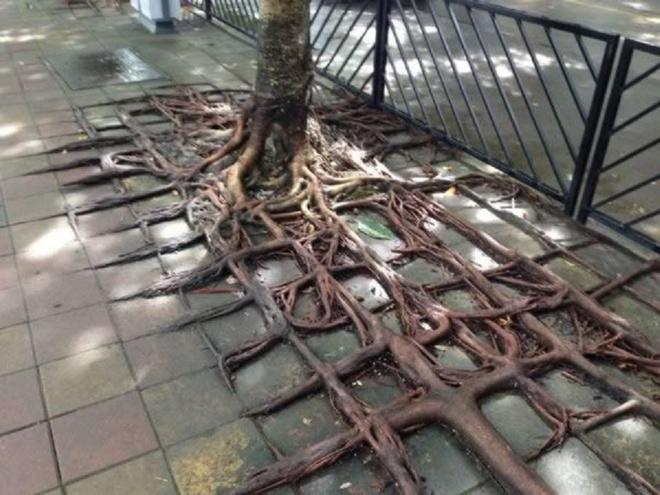 Nhung thuc vat quai di bac nhat the gioi (ky 1) hinh anh 6 Cây có bộ rễ viền quanh các viên gạch trên vỉa hè ở Trung Quốc. Ảnh: