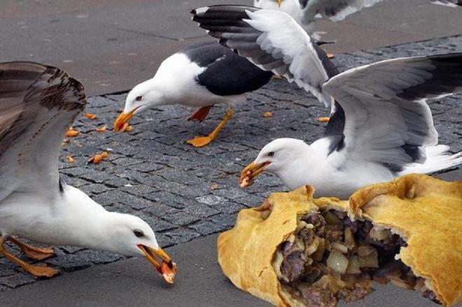 Hai au lam nguy vi xoi thuc an nhanh hinh anh 1 Hải âu ở Anh thích ăn bánh mỳ kẹp thịt hơn cá sống. Ảnh: Mirrorpix
