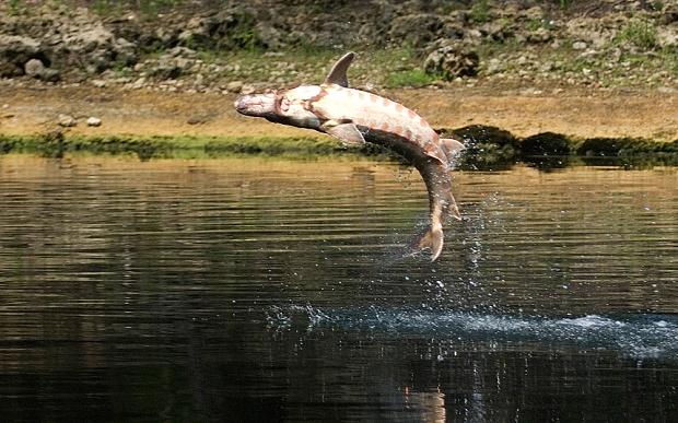 Nhảy vọt lên khỏi mặt nước là hành vi phổ biến của cá tầm, và thói quen ấy có thể gây họa cho người. Ảnh: Telegraph