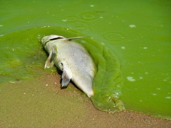 Tao doc no ruc ro tren ho Erie hinh anh 6 Tảo nở rộ và rất phổ biến trong lưu vực nông phía tây của hồ trong những năm 1950 và thập niên 60. Phốt pho từ các trang trại, nước thải và ngành công nghiệp phân bón tổng hợp làm nở rộ tảo lục phát triển sau 5 năm.