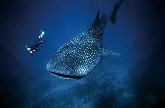 10 dia diem du lich ly tuong trong thang 8 hinh anh 5 5. Holbox, Mexico - Tour du lịch bơi cùng cá mập: Là một hòn đảo phía tây bắc Cancun ở Vịnh Mexico, Holbox nổi tiếng thế giới là nơi chiêm ngưỡng loài cá mập di cư. Những chú cá biển lớn này thường di cư xuống miền nam vào mùa đông rồi lại trở lại phía bắc khi mùa hè tới. Holbox là một hòn đảo yên tĩnh nơi dân cư và du khách có thể đi lại chủ yếu bằng xe điện chở khách. Nếu là người ưa mạo hiểm, du khách có thể đăng ký tham gia bơi cùng cá mập trên biển.