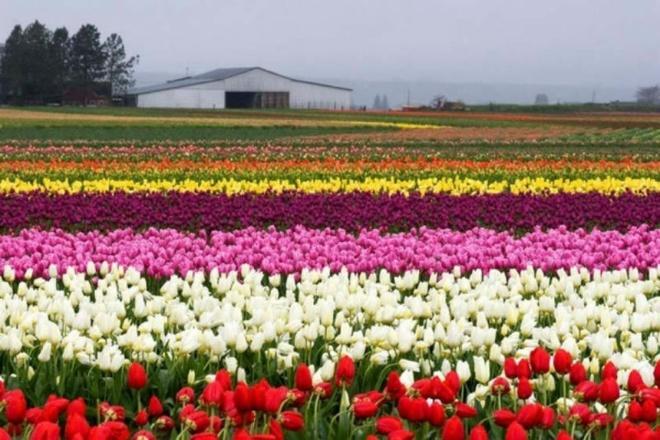 Nhung dia danh sieu thuc khong the bo qua khi toi My hinh anh 3 3. Cánh đồng hoa Tulip ở thung lũng Skagit, Washington: Nếu bạn yêu thích hoa tulip và những thứ nhiều màu sắc rực rỡ, đây là một địa danh lý tưởng dành cho bạn. Vào mùa xuân hàng năm, cánh đồng hoa tulip chào đón hàng ngàn du khách tới chiêm ngưỡng vẻ đẹp tráng lệ của nơi đây.
