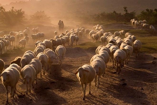 Nhung buc anh khien ban kho tin la chup o Viet Nam hinh anh 10 Những hình ảnh chăn cừu đậm chất du mục ở một trang trại cừu tại Phan Rang. Phan Rang là vùng đất chăn cừu có lịch sử trăm năm và cũng là vùng đất hình thành giống cừu duy nhất ở Việt Nam.