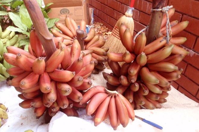 Kết quả hình ảnh cho ky thuật trồng cây chuối đỏ dacca núi ba vì