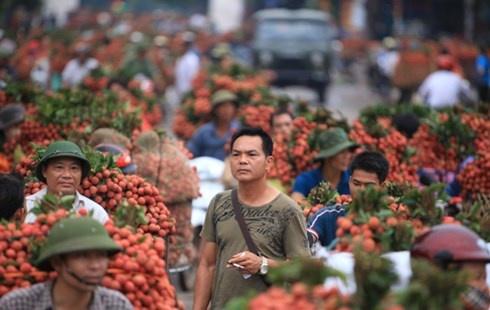 Thương lái Trung Quốc thu mua vải thiều ở xã Phượng Sơn (Lục Ngạn, Bắc Giang).