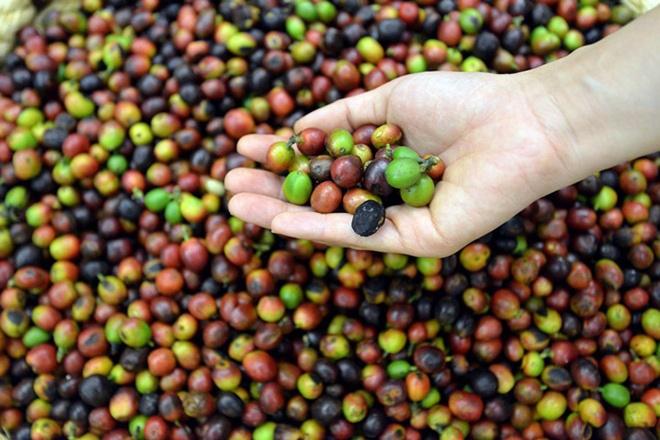 Nhung dieu it biet sau cuoc do bo cua Starbucks tai Ha Noi hinh anh 2 Starbucks chỉ sử dụng cà phê Arabica để sản xuất đồ uống, trong khi loại cà phê này chỉ chiếm 6% diện tích trồng ở Việt Nam. Vi vậy, cà phê mà Starbucks dùng ở Việt Nam là hàng được nhập từ Indonesia, một trong ba khu vực nguyên liệu chính của Starbucks toàn cầu.