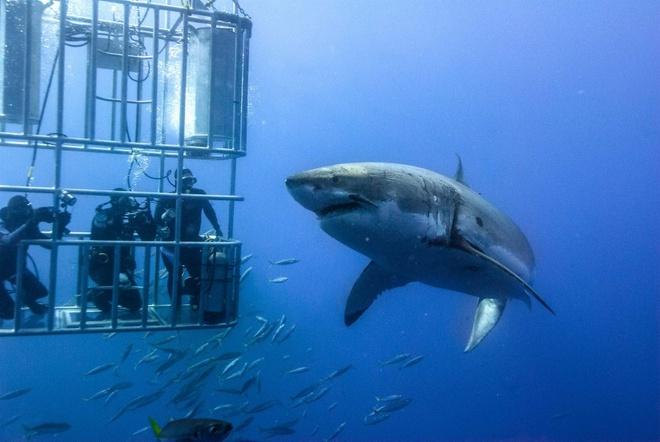10 kieu du lich mao hiem nhat the gioi hinh anh 9 3. Lặn cùng cá mập (Mexico): Không phải ai cũng dám giải trí bằng cách một mình cùng cá mập ở cự ly bằng 0. Nhưng đối với những người thích du lịch mạo hiểm thì lại khác, và khu vực biển Isla Guadalupe sẽ là một trong những nơi thích hợp nhất trên thế giới để lặn xuống sâu chơi với cá mập trắng. Tất nhiên là cá mập bên ngoài, còn bạn ở trong lồng.