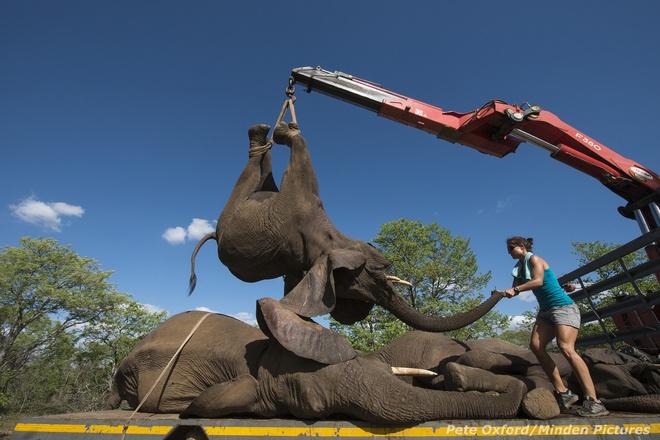 Tiem thuoc an than de van chuyen voi hinh anh 1 Chúng ta đều biết rằng loài voi đang gặp rắc rối. Hằng năm có khoảng 35000 con voi bị giết bởi bọn săn trộm để lấy ngà, bán cho một tầng lớp thượng lưu người Trung Quốc luôn coi ngà voi như một biểu tượng quyền lực.