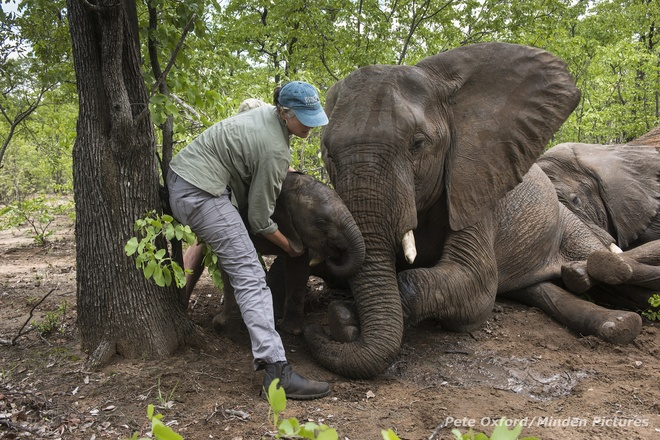 Tiem thuoc an than de van chuyen voi hinh anh 2 Nhiều đàn voi Châu Phi hiện đang sống trong sự bảo vệ nghiêm ngặt tại các công viên quốc gia. Chính phủ các nước và các tổ chức bảo vệ động vật hoang dã đã có những bước tiến dài trong việc đầu tư các thiết bị hiện đại, nhằm tránh cho chúng khỏi bị nhiễm độc, hay bị săn bắt giết mổ trái phép.