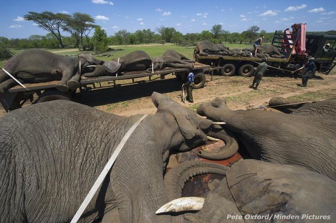 Tiem thuoc an than de van chuyen voi hinh anh 4 Sau khi những chú voi đã được tiêm thuốc và ngủ say, các bác sỹ thú ý sẽ nhanh chóng chuyển chúng lên những chiếc xe tải lớn một cách an toàn, và vận chuyển chúng quay trở lại khu bảo tồn. Oxford cho biết loài voi hay loài tê giác đều đang bị đe dọa nghiêm trọng bởi nhu cầu săn bắt trái phép để lấy ngà ngày càng cao.