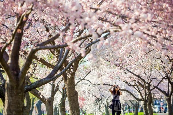 10 noi ngam hoa anh dao dep nhat the gioi hinh anh 2 Năm nay lễ hội được tổ chức từ ngày 20 tháng 3 đến tháng 12. Sự kiện này cũng là dịp để kỷ niệm tình hữu nghị lâu dài giữa hai nước Mỹ và Nhật.