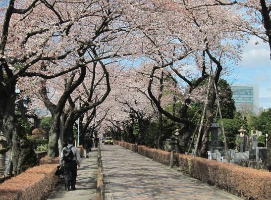 10 noi ngam hoa anh dao dep nhat the gioi hinh anh 5 3. Nghĩa trang Aoyama, Tokyo, Nhật Bản. Nghĩa trang Aoyama là địa danh trang nghiêm chôn cất nhiều nhân vật lịch sử của Nhật Bản, với một con đường được phủ kín bởi hàng trăm cây hoa anh đào 2 bên đường.