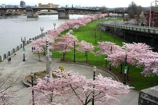 10 noi ngam hoa anh dao dep nhat the gioi hinh anh 7 4. Công viên Tom McCall, Portland, Mỹ. Công viên ở thành phố Portland, một thành phố xanh của nước Mỹ, tô điểm rực rỡ bởi những cây hoa anh đào lớn vào mùa xuân, khoảng tháng 3 đến tháng 4