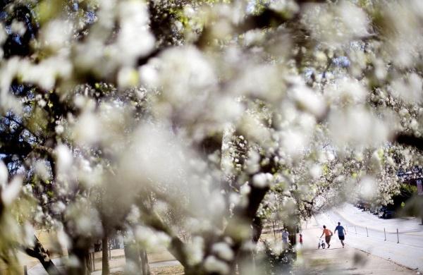 Người dân đi bộ qua con đường hoa trắng muốt ở công viên Piedmont, Atlanta ngày 16/3.