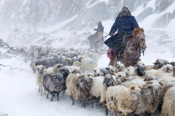 Người chăn cừu Kazakhs lùa đàn gia súc của mình băng qua bão tuyết ngày 12/3 tại Yili, Tân Cương.