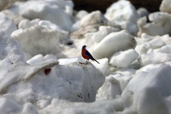 Chú chim lạc lõng giữa tuyết trắng tại Boston Common ngày 11/3.
