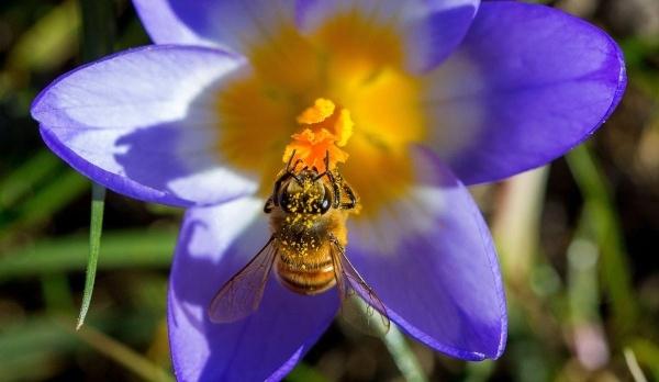 Một chú ong bận rộn thu thập phấn hoa trên hoa nghệ tây tại Timmendorf, Đức ngày 9/3.