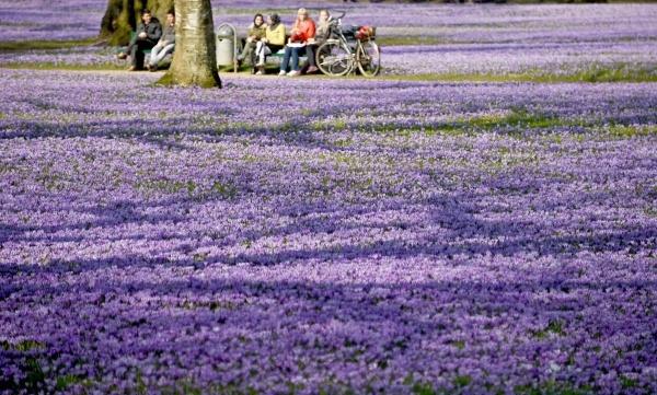 Nghệ tây nở hoa tím biếc xung quanh lâu đài Schlosspark tại Husum, Đức ngày 18/3.
