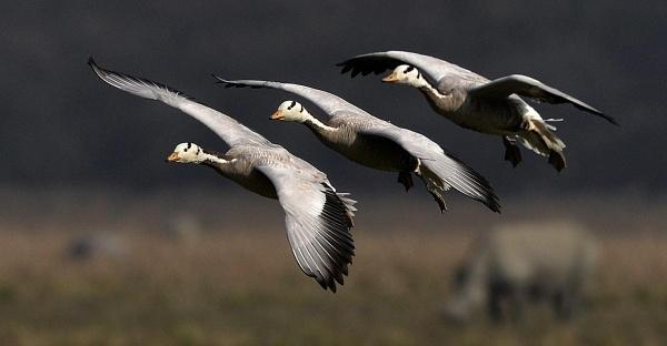 Những chú chim đầu ngỗng di cư về Assam, Ấn Độ ngày 4/3.