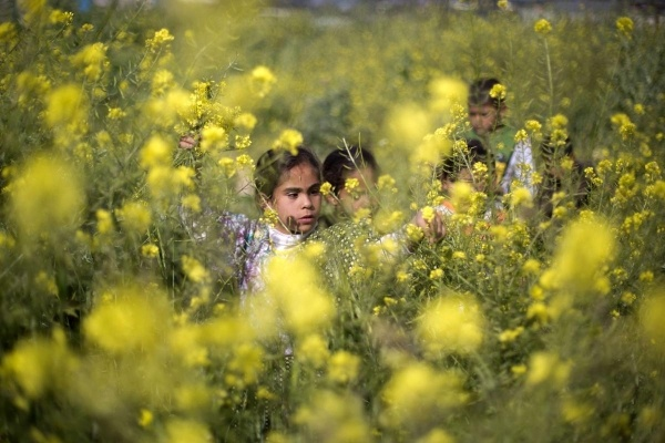 Trẻ em Palestine hái hoa cải dải trên những vùng đất thuộc dải Gaza ngày 20/3.
