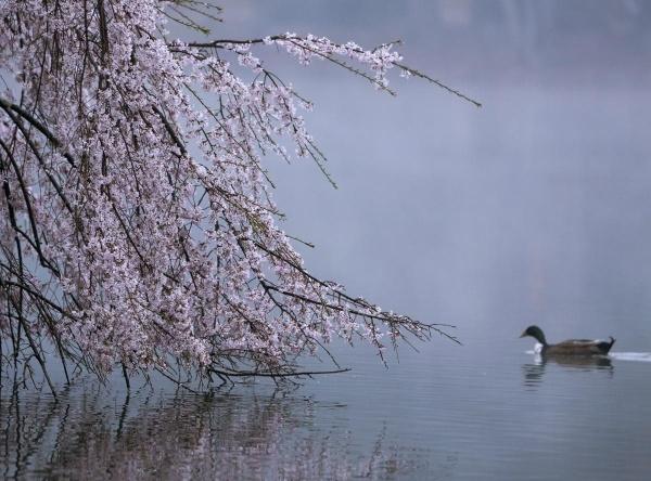 Chú vịt bơi gần cành liễu nở hoa dọc hồ Avondale, Georgia ngày 20/3.
