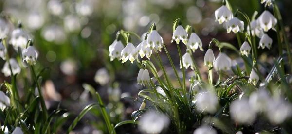 Hoa nở trong thung lũng Maerzenbechertal gần Emeringen, Đức ngày 18/3.