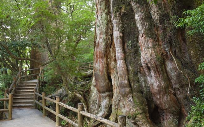 18 trai nghiem lam nen chuyen du lich Nhat Ban dung nghia hinh anh 10 10. Thăm hòn đảo hoang sơ Yakushima  Đảo Yakushima thuộc địa phận tỉnh Kagoshima. Hòn đảo hoang sơ này có một thảm thực vật phong phú và đã được UNESCO công nhận là di sản thiên nhiên thế giới. Mỗi năm có hơn 300.000 khách du lịch yêu thiên nhiên ghé thăm hòn đảo này. Điều kiện môi trường sinh thái tuyệt vời và trong lành là lý do khiến Yakushima trở thành một trong những nơi người dân có tuổi thọ cao nhất Nhật Bản.