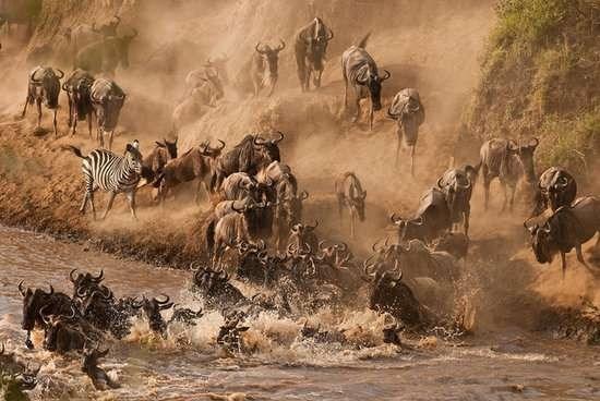 Nhung trai nghiem du lich ban nen thu mot lan trong doi hinh anh 2 Chứng kiến màn linh dương đầu bò vượt sông Mara, Kenya. Ảnh: Corbis Images.