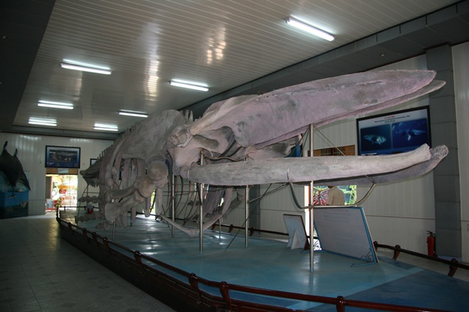 10 dia diem khong the bo qua khi den du lich Nha Trang hinh anh 10 Nơi đây có trên 20.000 mẫu vật của 4.000 loại sinh vật biển được sưu tầm và gìn giữ trong nhiều năm. Đặc biệt tại đây trưng bày một bộ xương cá voi khổng lồ dài gần 26m, cao 3m với 48 đốt sống đã được phục chế đầy đủ.
